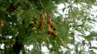 Tamarind fruit video