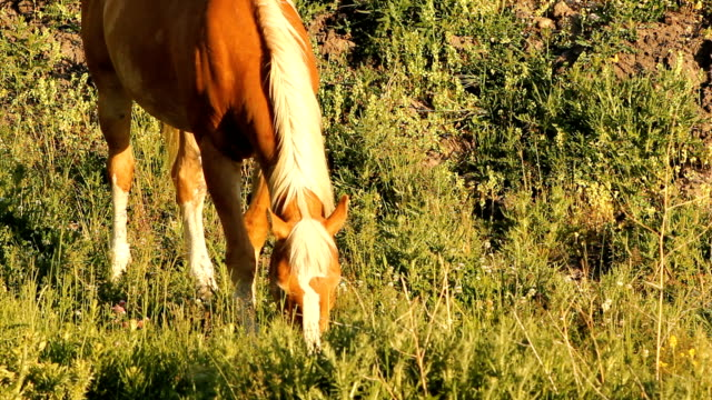 Tan horse feeding on grass video