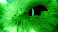 Tang on reef video