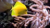 Tang swiming in aquarium video