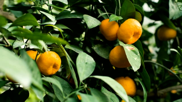 Tangerines on a tree video