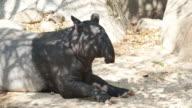 Tapir on ground. video
