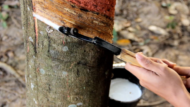 Tapping latex from a natural rubber tree. video