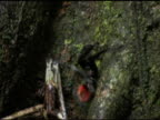 Tarantula crawls in jungle, Belize video