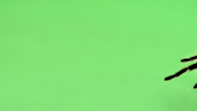 Tarantula Green Screen video