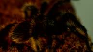 tarantula in terarium video