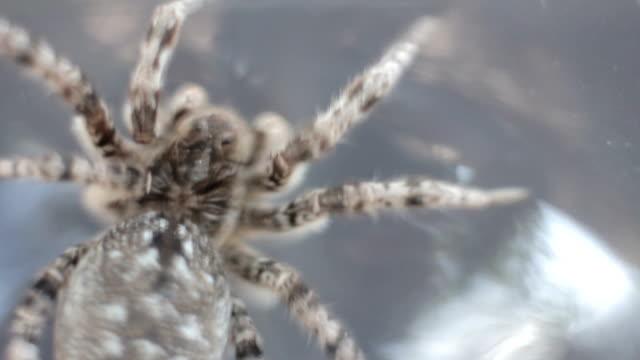 A tarantula spider close up video