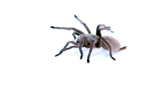 Tarantula video