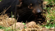 Tasmanian Devil eating video