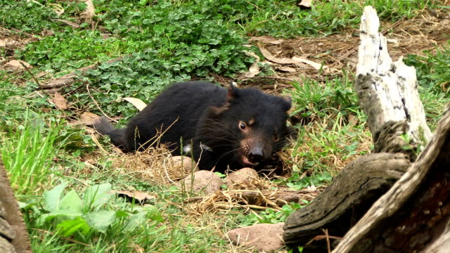 Tasmanian Devil eating video