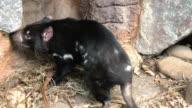Tasmanian Devil video
