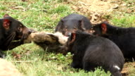 Tasmanian Devils Eating video