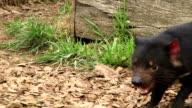 Tasmanian Devils video