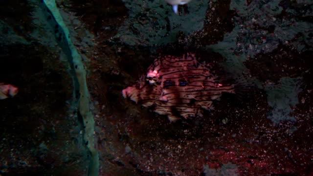 Tasselled Anglerfish in water video