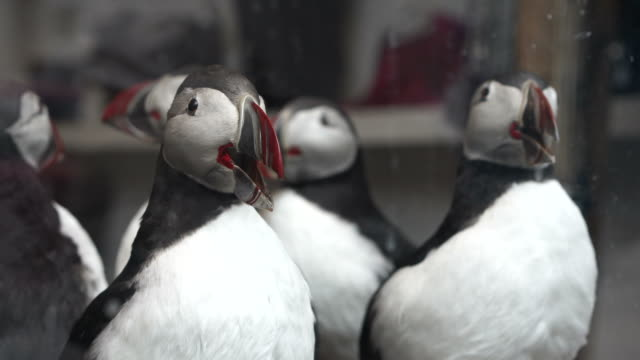 Taxidermy stuff puffins bird selling in shop. Endanger small animal of Western Europe video