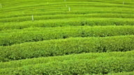 Tea farm video