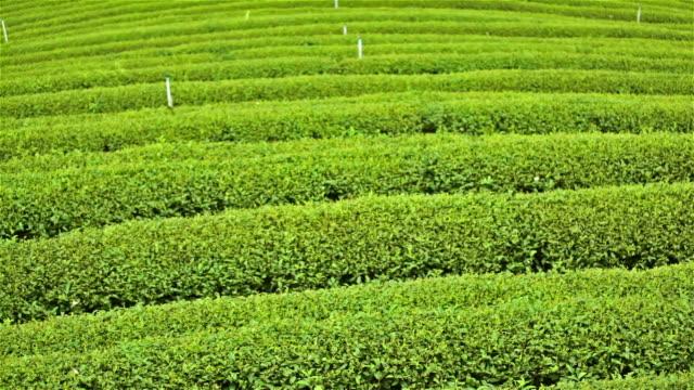 Tea farm video