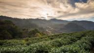 Tea field and sunrise video