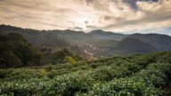 Tea field and sunrise video