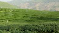 tea garden mountains video
