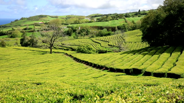 Tea plantation at Cha Gorreana, Maia, San Miguel, Azores, Portugal video