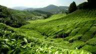 Tea plantation in Cameron Highlands Pahang video