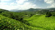 Tea plantation in Cameron Highlands Pahang video