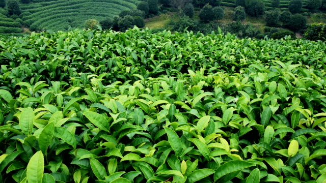 Tea Plantation in China video