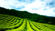 Tea plantation in clouding day.LR Pan,Full HD Time lapse video