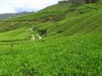 Tea plantation in Malaysia video