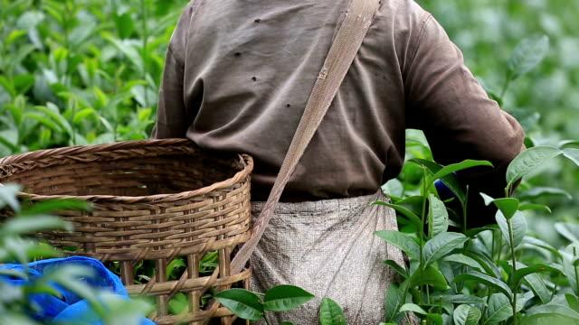 Tea plantation in Thailand. video