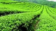 tea plantation on a hill slope video