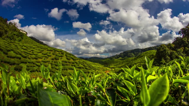 Tea plantation time lapse 4K video