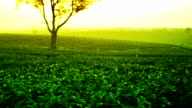 tea plantation video