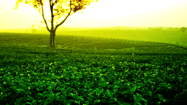 tea plantation video
