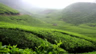Tea plantation with mist over a hill side video