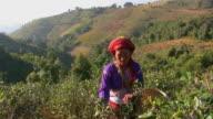 tea plantation_Tee_pfluecken4 video