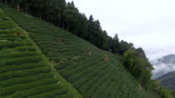 Tea plantations and the sea of ​​clouds A video