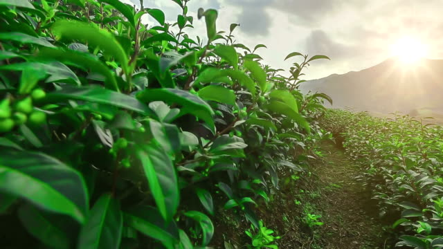 Tea Plantations at Mae Salong chiang rai Thailand video