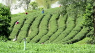 Tea plantations in the morning at Thailand video