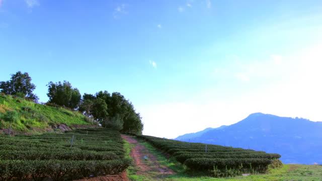Tea Plantations video