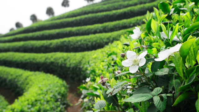 Tea Plantations video