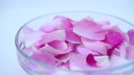 Tea rose on a white background. video