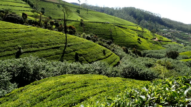 tea terraces video