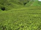 Tea valley video