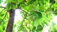 teak tree video