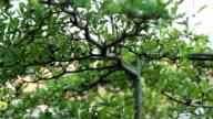 Tending Bonsai Tree outdoor, concept: Bonsai means fortune video