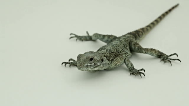 Tensed and frightened Lizard on white background video
