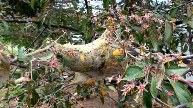 Tent Caterpillar Cocoon Between Blossoming Tree video