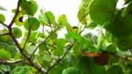 Terminalia catappa - Reunion Island video